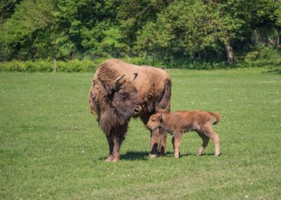 bisonne Parc Animalier de Han-sur-Lesse