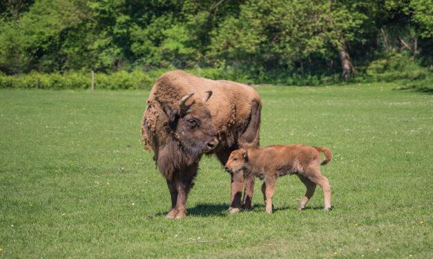Naissance au Parc Animalier de Han-sur-Lesse : une petite bisonne vient d'y voir le jour !